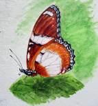 金斑蛺蝶 Danaid Egg-fly